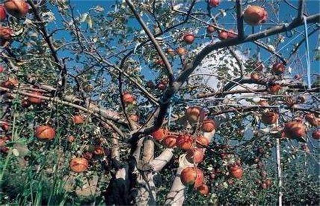 苹果转枝方法和注意事项
