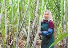 甘蔗种植为什么剥叶