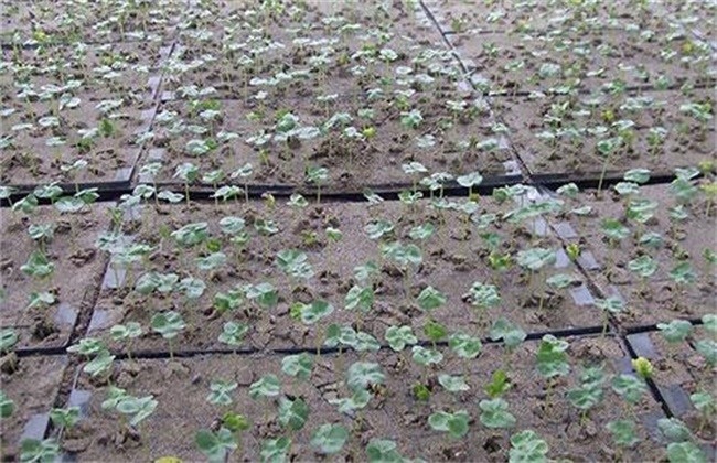 棉花育苗期三害预防措施