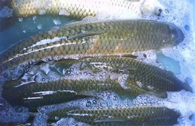 草鱼 多少钱一斤