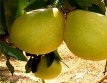 蜜柚红蜘蛛的防治措施