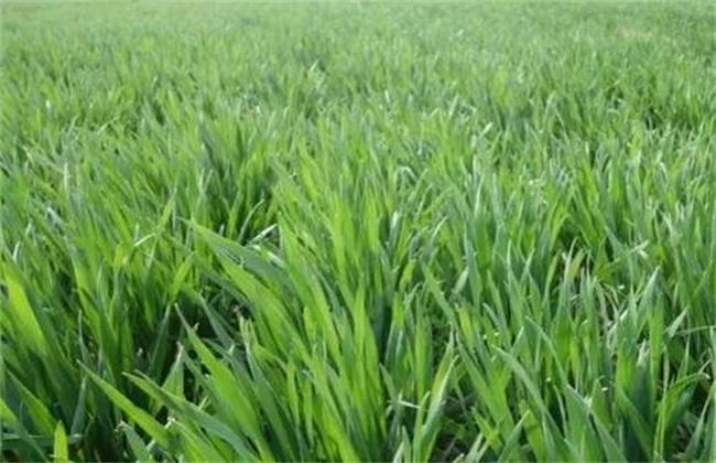 小麦控旺原因及方法