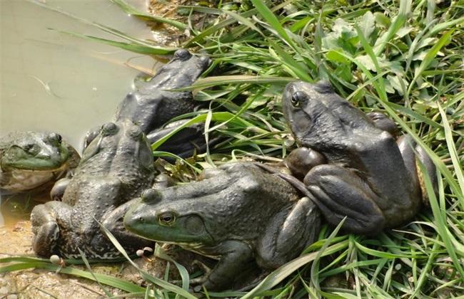 牛蛙 多少钱一斤
