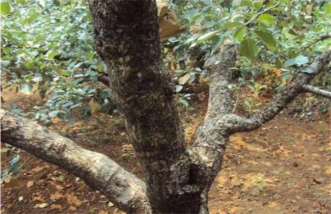 冬季梨树刮皮注意事项