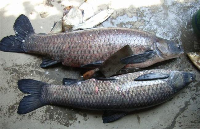 青鱼 多少钱一斤
