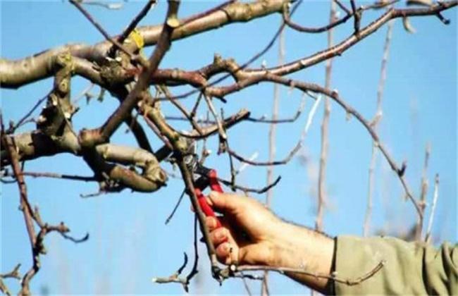 石榴树的修剪技术要点