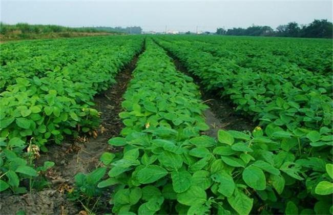 毛豆的高产栽培技术