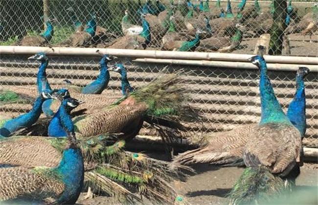 孔雀养殖常见问题
