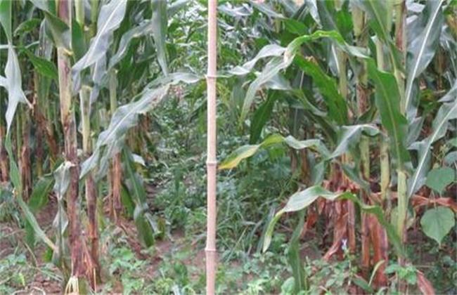 玉米脱肥症状和防治方法