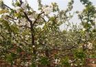 大樱桃花期如何防冻