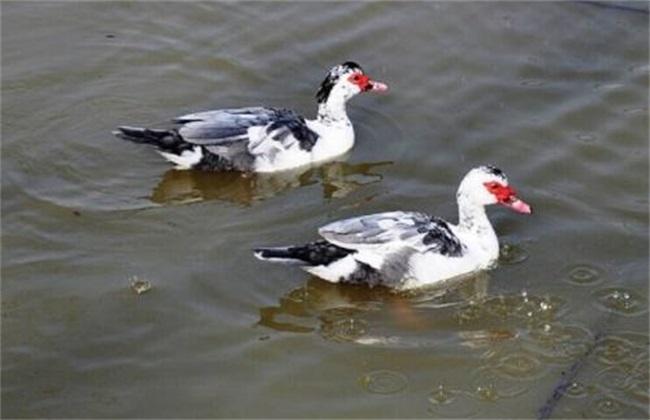 鸳鸯鸭养殖注意事项