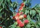 桃树种植常见问题