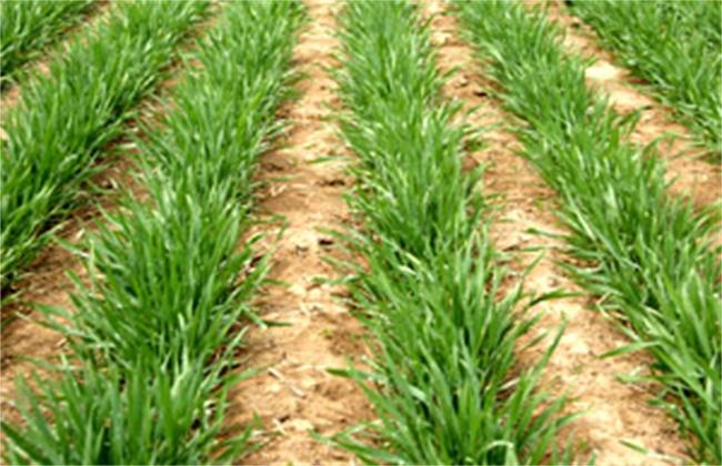 小麦冬春死苗原因及防治措施