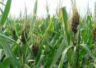玉米盐酸害的防治方法