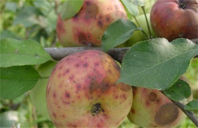 苹果缺钙原因及防治措施