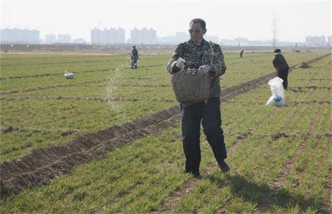 小麦春季追肥方法和注意事项