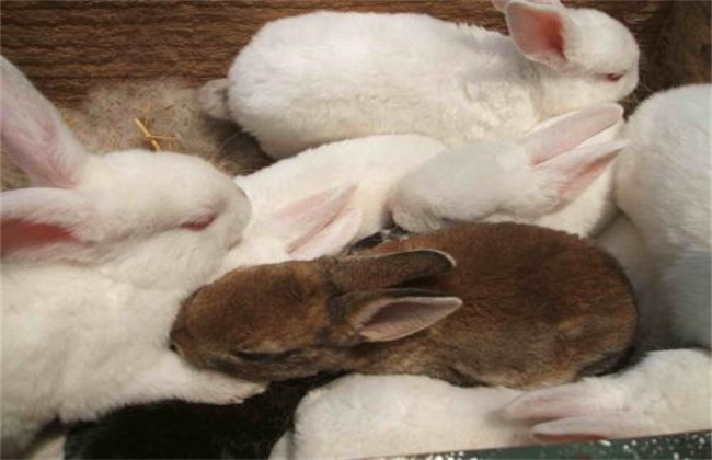 如何提高仔兔断奶成活率
