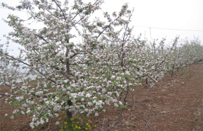 苹果倒春寒后的管理措施
