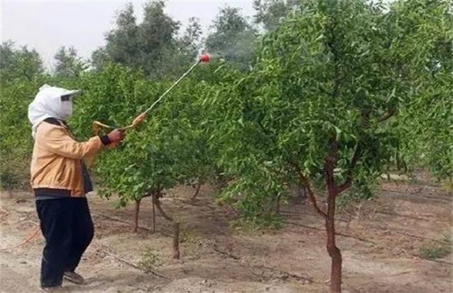 枣树施肥和浇水技巧