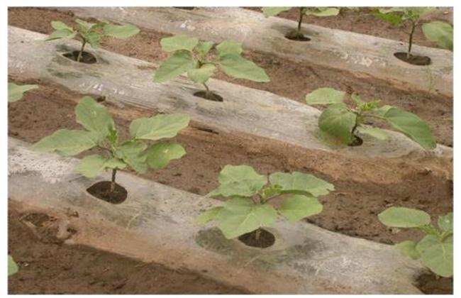 冬季大棚茄子定植后管理技术