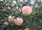 苹果个小什么原因