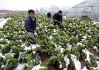 蔬菜低温防冻技术
