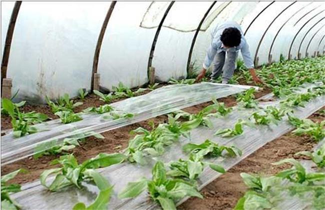 冬季大棚蔬菜施肥注意事项
