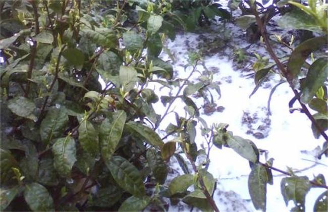 茶树如何预防倒春寒