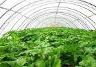 大棚蔬菜气体中毒发生原因及防治措施