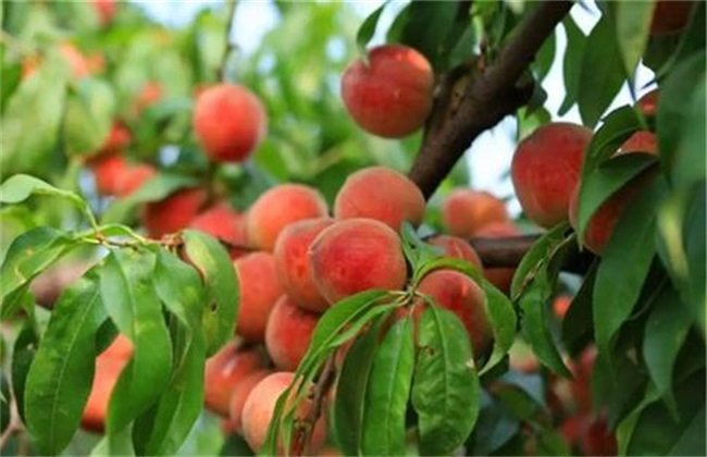 桃树采果后如何管理