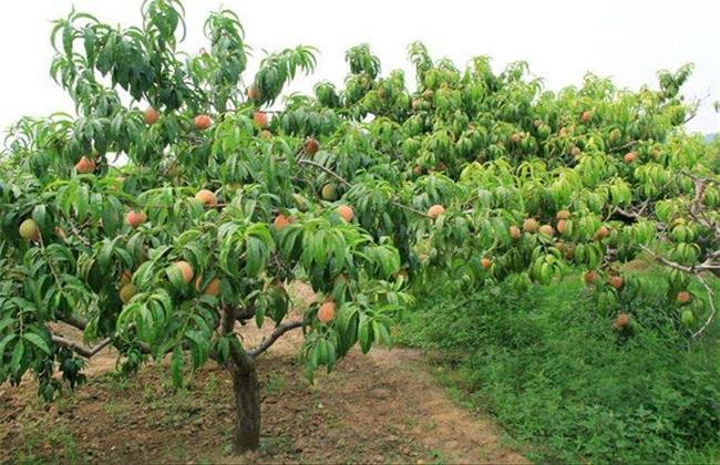 桃树采果后 如何管理