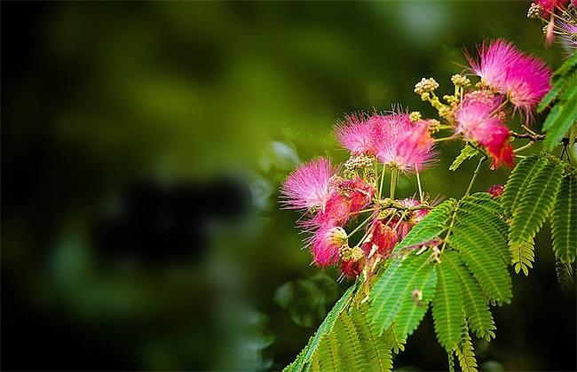 合欢花 功效与作用 禁忌