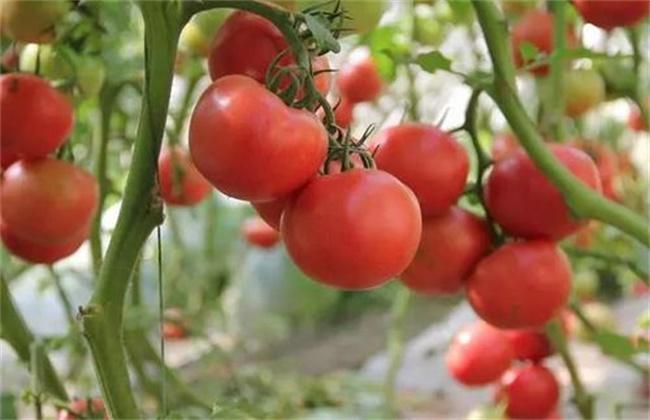 大棚西红柿产量低是什么原因