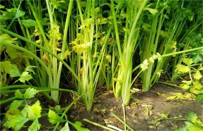 大棚芹菜常见施肥误区