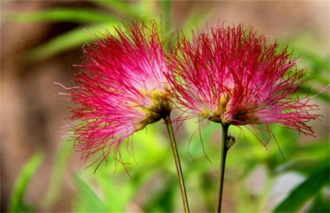 合欢花 栽培方法