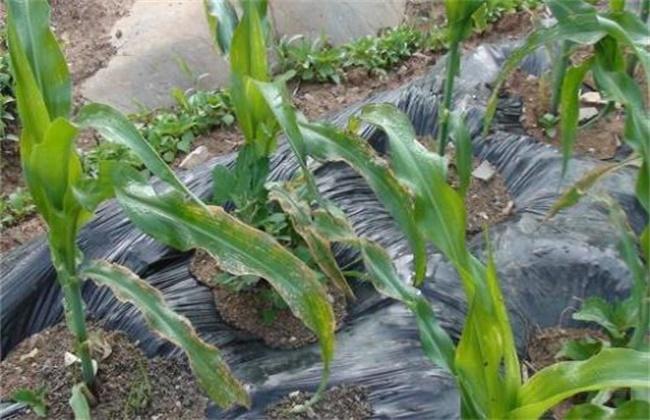 玉米低温障碍防治方法