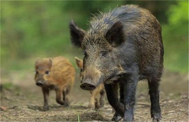野猪养殖风险有哪些