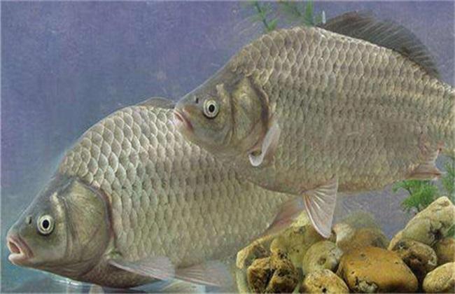 鲫鱼的养殖要求