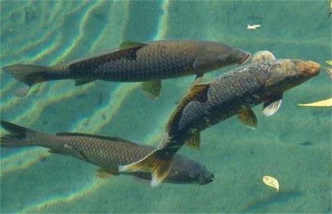 青鱼养殖知识要点