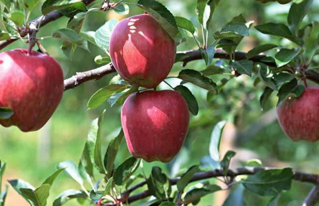 苹果树中后期管理要点