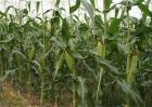 玉米促早熟技术