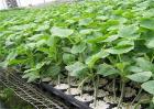 冬春茬黄瓜突然萎焉死亡原因及防治方法