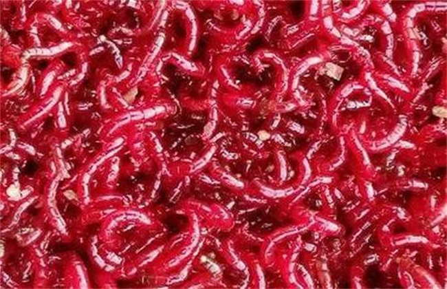 红虫养殖要点