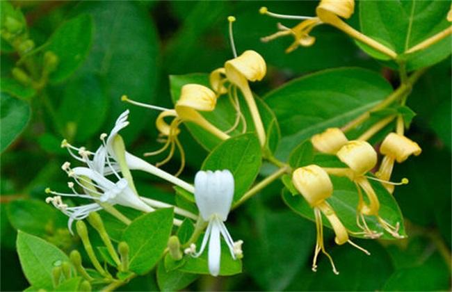 金银花种植要点