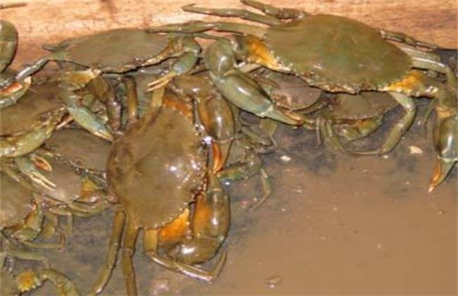青蟹养殖注意事项