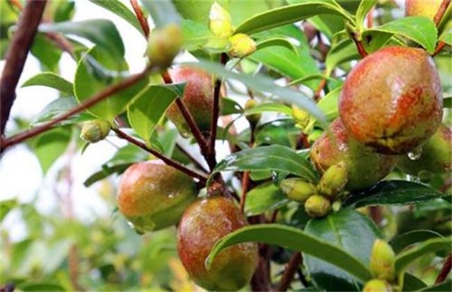 油茶树种植注意事项