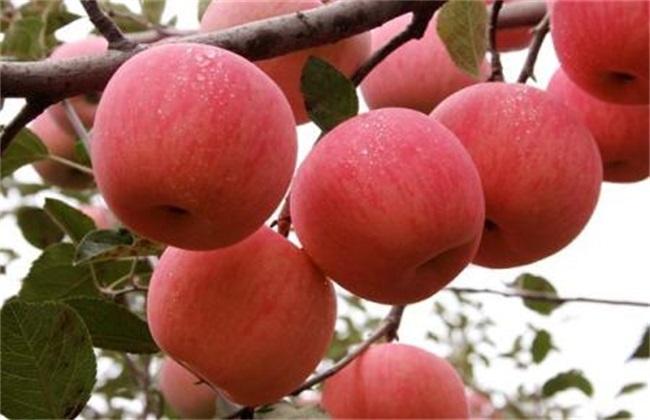 种植苹果需要注意什么