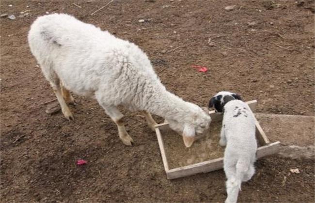 羊产子 注意事项