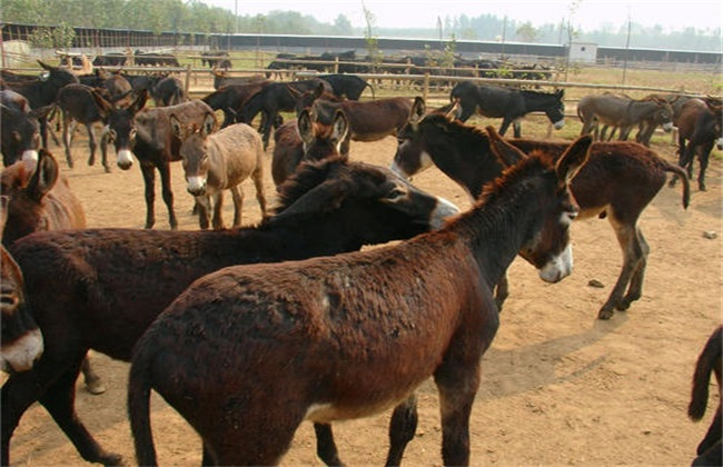 肉驴 养殖风险