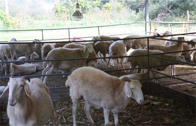 绵羊圈养 怎么才长得快